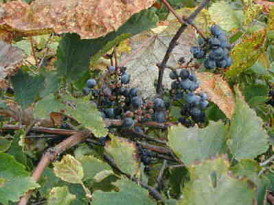 Fox grapes