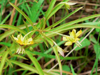 Lance-leaved Loosestrife