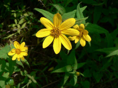 >Small Wood Sunflower